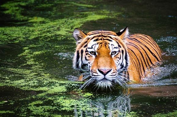 為什麼解決問題的臨時編組大多叫【Tiger team(老虎隊)】?